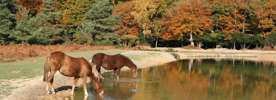 new-forest-ponies-drinking-autumn.jpg